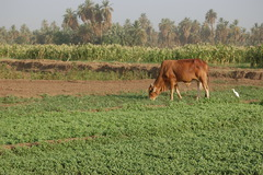 Mixed Crop/Livestock Systems