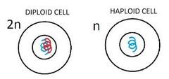 haploid (N)