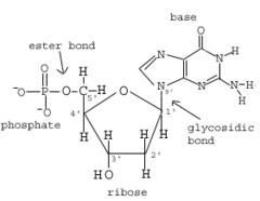 Biochemistry Ex1 Nucleotides, Nucleic Acids, DNA | StudyHippo com